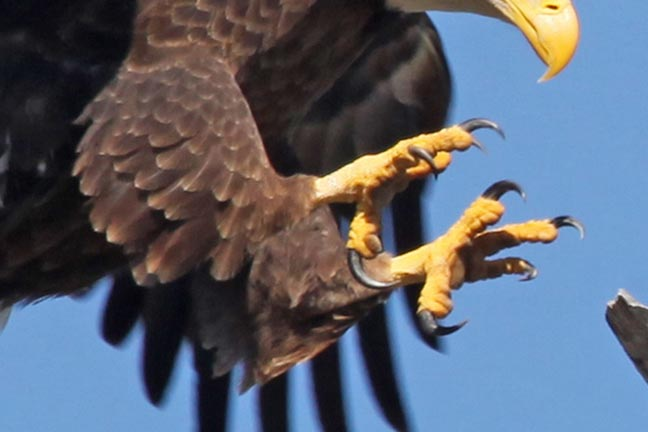 Image result for images condors with talons